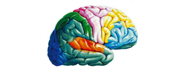 Cerebro zonas